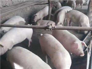 农家猪肉出售