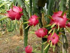攀枝花米易红心火龙果六斤装(6到8个)55