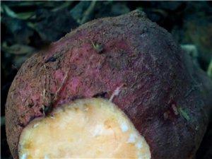 农家有6000斤红薯出售