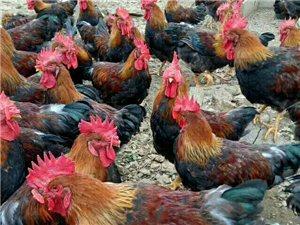 流山雞出售電話18753560937