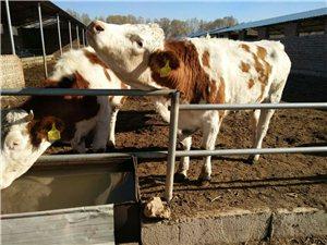 致富搞养殖,肉牛为龙头