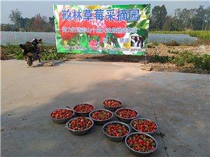 公義鶴林草莓采摘園