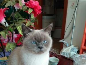 泰国暹罗猫出售