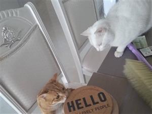 家有俩小猫