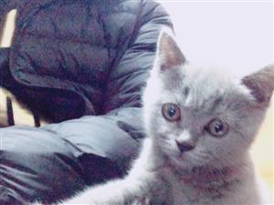 可爱活泼3个月蓝猫出售