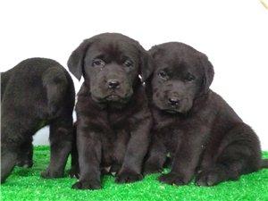 金毛、拉布拉多幼犬出售