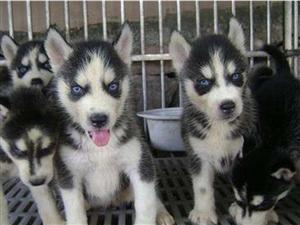 多款纯种幼犬宠物狗