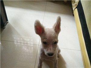出售3个月大萨摩耶幼犬
