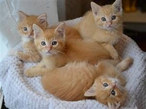 小橘猫求领养