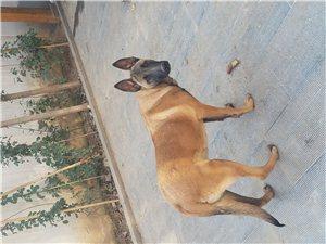 出售10��月�R犬
