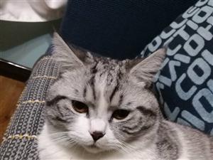 美短间白公猫 疫苗已打16个月