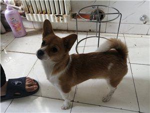 柯基犬,六��月(yue)