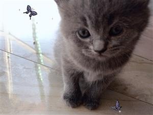 纯蓝猫出售