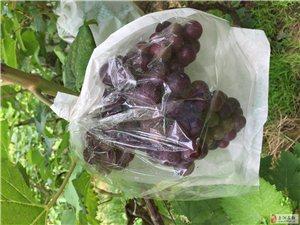 夏黑葡萄熟了