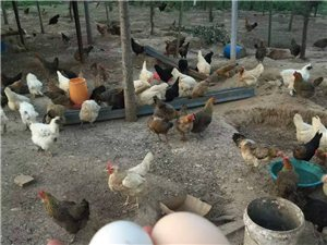 自家散養柴雞,公雞,柴雞蛋,