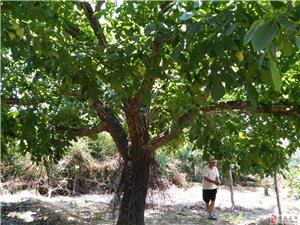 樹齡60年,樹徑60公分