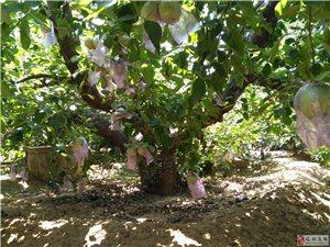 40年樹齡蘋果樹出售