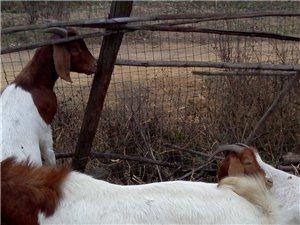 常年出售波尔山羊