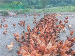 常年经营中大鸡、鸡苗!