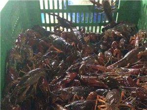 长期批发小龙虾