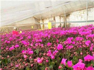 蝴蝶蘭花卉基地