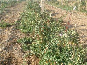 低價轉讓紅枸杞種植園