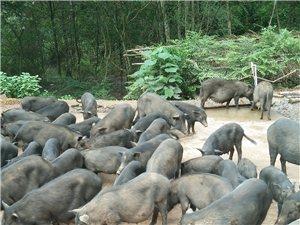 藏香猪种苗出售