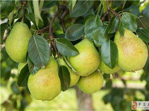 批发采摘各种梨,新鲜价格便宜