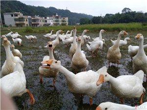 出售農家鵝,趕快預訂吧,中秋出售完