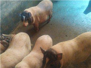 土雞土鴨土豬配送