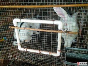 商品兔,幼兔销售