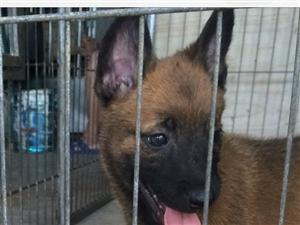 小马犬出售,狗在澳门太阳城网站可以上门看