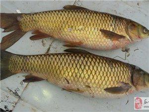 野生草魚開始撲撈了