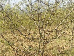 出售皂角树苗,1.3-1.8米高,有意者联系我。