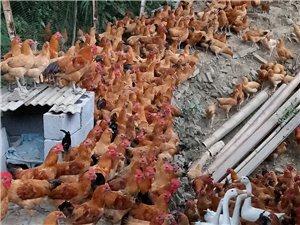 出售秀山本地土雞和土雞蛋