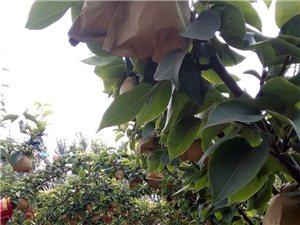 大量出售愛宕梨