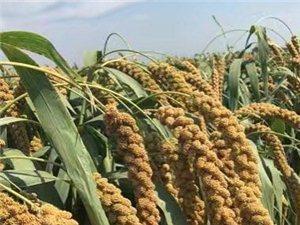 天然无公害小米