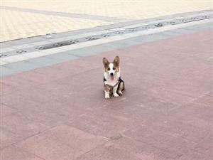 �す�⑹�!泰�_小�^�G失一只柯基犬!