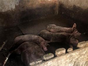 这件事发生在2019年8月2日爆料长乐村在村里居民区养猪?#24405;?</a