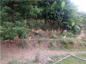 好鸡在农村