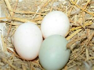 原生态土鸡蛋