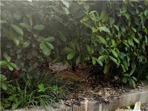 卧龙金湾一绿化带常年冒生活污水