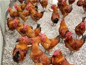甘谷亿羽鸡场大量出售散养青脚麻鸡????