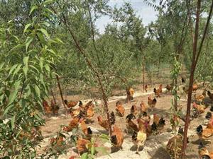 大型散养鸡??基地中秋节活动开始了