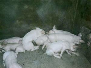 家有小猪,9月15日满月。