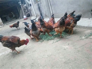 老家养的土鸡,需要的联系,周。15597