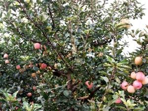 出售富士苹果