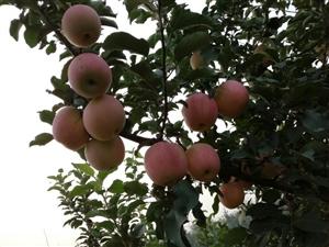 出售富士苹