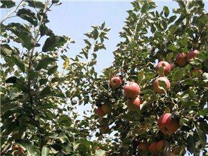 金秋十月苹果飘香