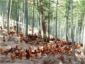 本人长期提供放养土鸡,价格优惠。欢迎顾客